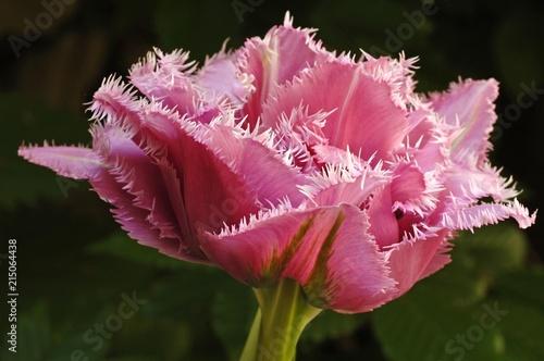 Pink Tulip (Tulipa), blossom