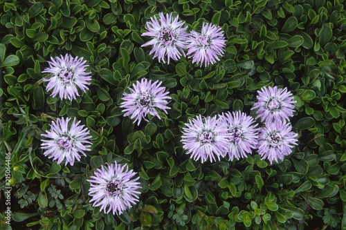 Common Globe Daisies (Globularia punctata), Karwendel Mountains, North Tyrol, Austria, Europe