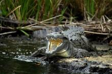 American Crocodile (Crocodylus Acutus), Crocodile (Crocodilia) With A Lacerated Jaw, Black River, Negril, Jamaica, Caribbean, Central America