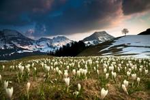 Crocuses In The Alpstein Area, Stockberg, Saentis, Swiss Alps, Switzerland, Europe