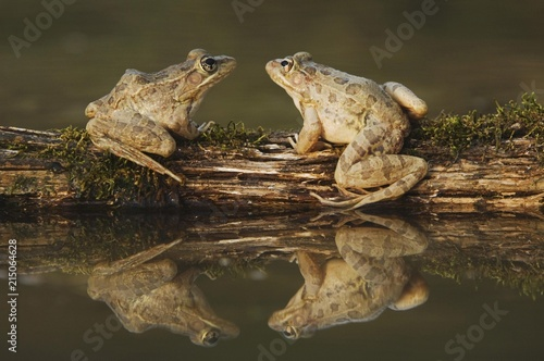 Rio Grande Leopard Frog (Rana berlandieri), two adults on log in water with reflection, Uvalde County, Hill Country, Texas, USA, North America