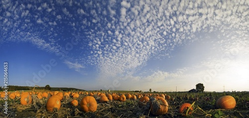 Fotobehang Cultuur Harvested pumpkins in a pumpkin field with fluffy clouds