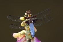 Broad-bodied Chaser (Libellula Depressa), Male Sitting On A Flowering Common Foxglove