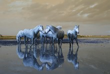 Camargue Horses Standing On Be...