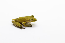 Image Of Yellow Frog On A Whit...