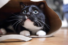 Black And White Cat In A Paper Bag, Shallow Focus On Nose