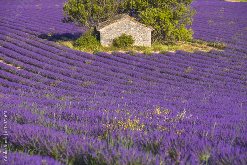 Poster Prune stone hut surrounded by lavender field near Sault, Provence, France