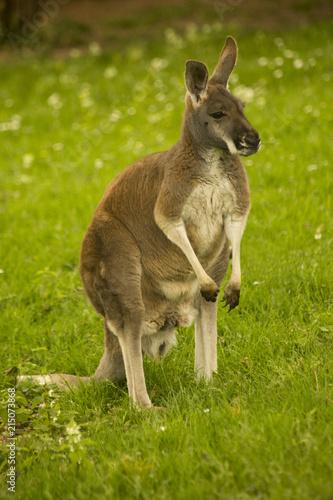 Foto op Plexiglas Kangoeroe Red Kangaroo (Macropus rufus).