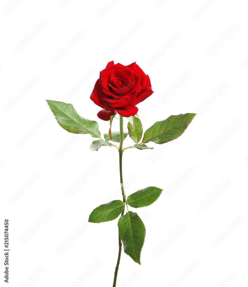 Fototapety, obrazy: Red long stem rose on white background