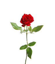Red Long Stem Rose On White Ba...
