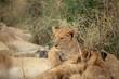 Lion cub resting
