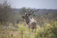 Wild Free Greater Kudu Antelope Tragelaphus Strepsiceros  Portrait