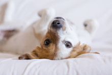 Cute Small Dog Dog Lying On Back On The Bed - Selective Focus. White Background. Pets Indoors