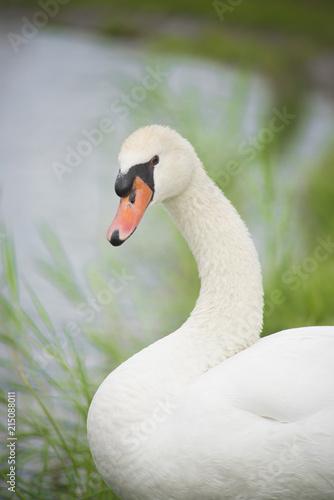 Fotobehang Zwaan Swan in nature