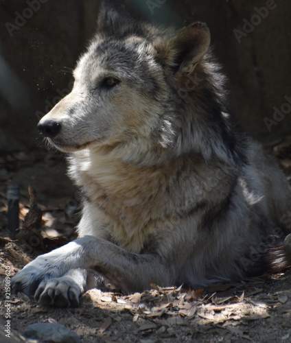 Fantastic Capture of a Timber Wolf Resting Fototapeta