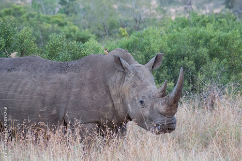 Curious Rhino standing in the grass surrounded by trees and bushes