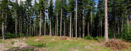 Obraz Iglasty las świerkowy - fototapety do salonu