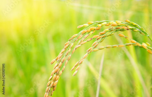 Poster Jaune rice field in north Thailand, nature food landscape background.