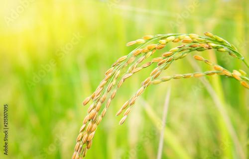 Tuinposter Zwavel geel rice field in north Thailand, nature food landscape background.