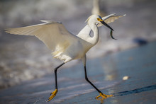 With Minnow In His Mouth, Snowy Egret Runs Up Beach.