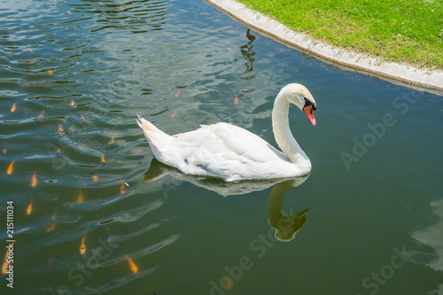 Fotobehang Zwaan Swan in the pond.