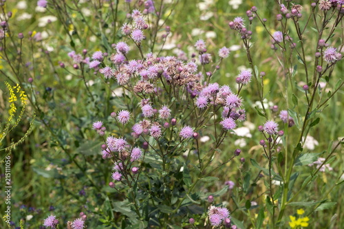 Photo Sow-thistle pink flowering bush (Cirsium arvense) in a natural environment, among the wildflowers