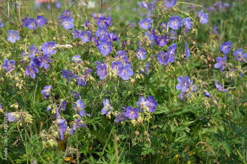Photo Many flowers of meadow cranesbill  {Geranium pratense} bloom on a green meadow