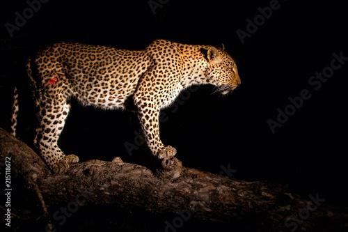 Plakat Lampart kobieta w nocy w Sabi Sands gry rezerwy, część regionu Greater Kruger w Afryce Południowej