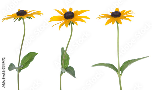 Valokuvatapetti black eye susan daisy isolated on white