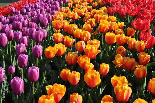 Too Many Tulips Poster