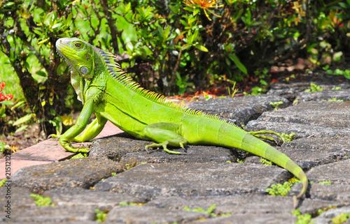 Beautiful green Iguana taking the sun in a garden path