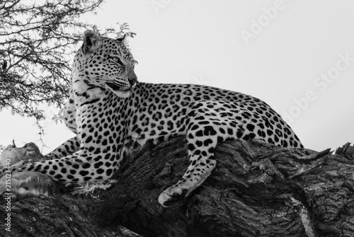 Poster Leopard Leopard Central Kalahari