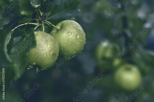 Jabłka na jabłoni po deszczu