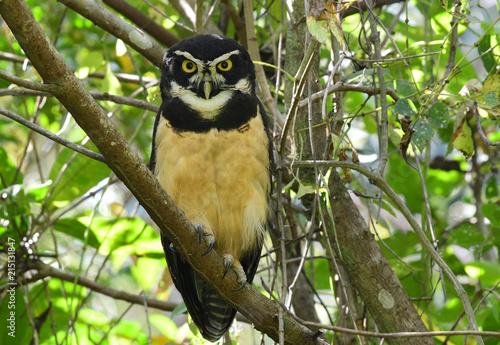 Spectacled Owl (Pulsatrix perspicillata) Wallpaper Mural
