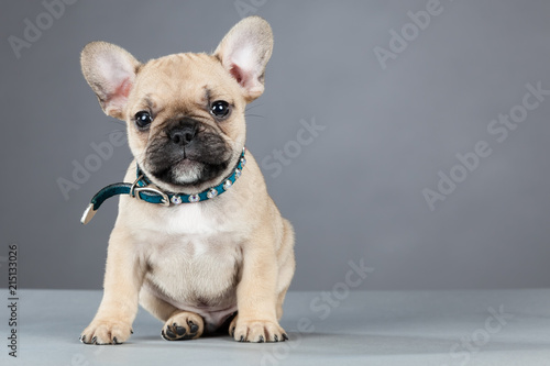 Deurstickers Franse bulldog French Bulldog Puppy Wearing Rhinestone Collar