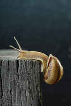 Snail On An Old Wooden Beam, D...