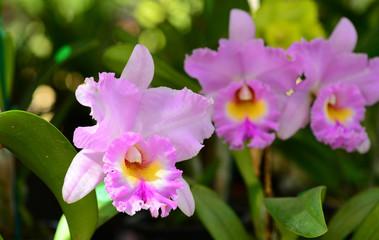pink yellow cattleya orchid flower