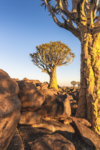 Quiver Tree Forest (Aloe Dicho...
