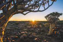 Quiver Tree Forest (Aloe Dichotoma), Keetmanshoop, Namibia, Africa.