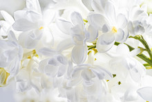A Branch Of White Lilac. Bloom...