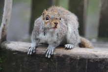 Close Up Of A Grey Squirrel Si...