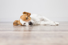 Portrait Of A Cute Small Dog Lying On The Floor And Sleeping. Feeling Tired Or Bored. Pets Indoors, Home, Lifestyle.