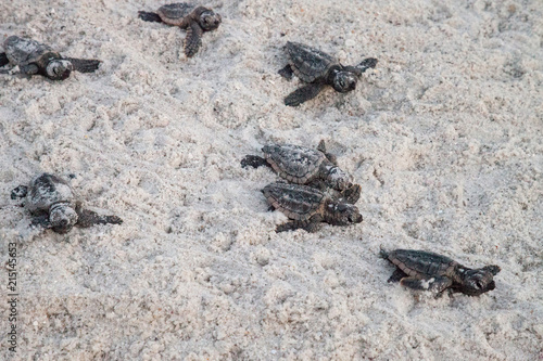 Valokuvatapetti Hatchling baby loggerhead sea turtles Caretta caretta climb out of their nest