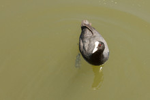 Female Coot Swimming Alone In A Green River Looking Up Expectantly