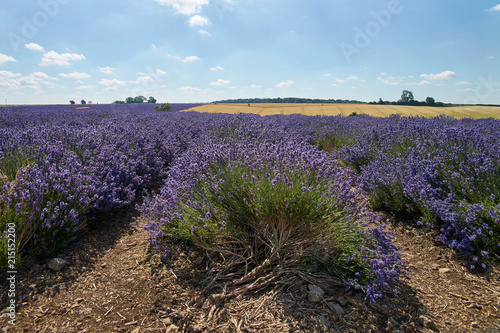 Blue lavender field in England