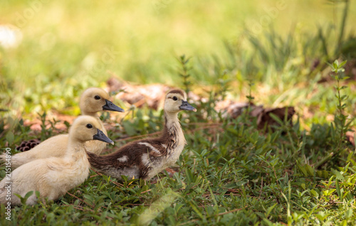 Yellow Baby Muscovy ducklings Cairina moschata in a pond
