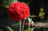 Fototapeta Kwiaty - Mysłowickie kwiaty