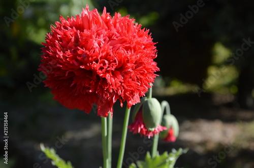 Fototapeta Mysłowickie kwiaty obraz