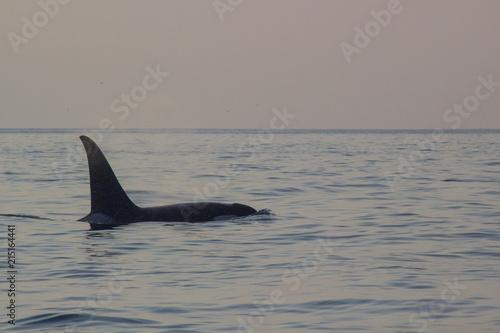 Plakat Orca w Sunset