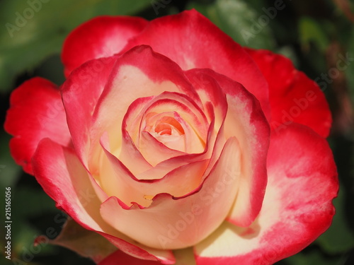 Bright Red Tipped Rose